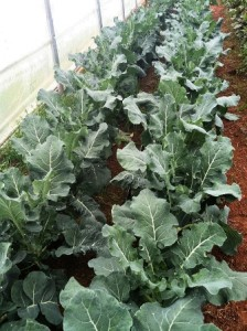 broccoli rows