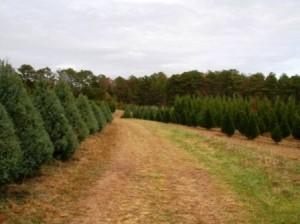 Carolina Sapphires & Leyland Cypress